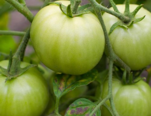 Tomatidine in Green Tomatoes Fights Aging