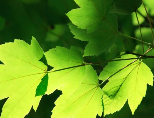 This Leaf Could Hold the Key to Slowing the Aging Process